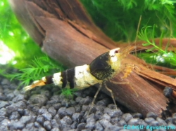 Black Bee Shrimp 4-Band, Grade A