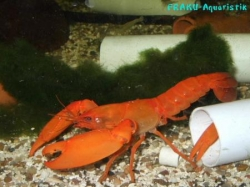 Cherax extrem orange (Irianto red)