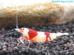Red Bee Shrimps Tigertooth, Grade S